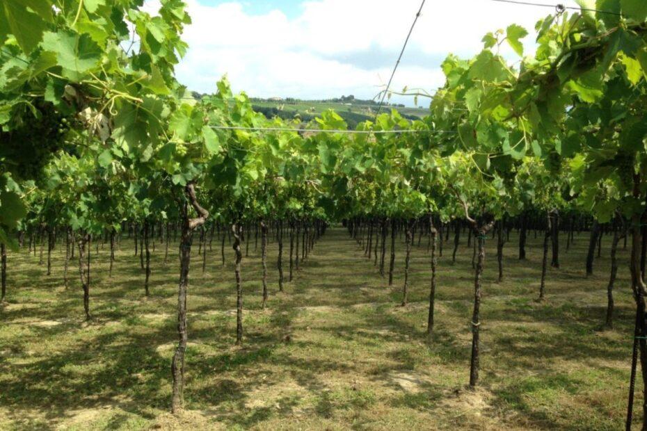 News Photo of Vineyard